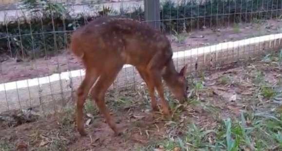 Morre Farofa, a filhote de veado que chegou a Cachoeira em março