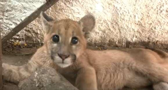 Puma no Zoo! Escolha o nome do Puma e ganhe um presente para o seu pet